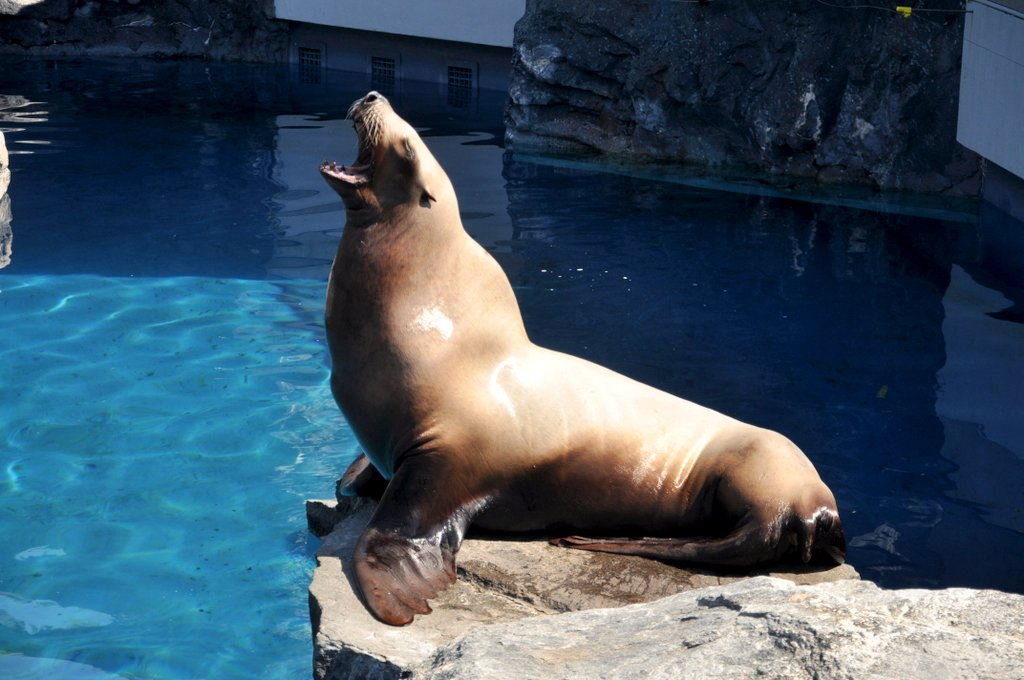 sea lion at mystic aquarium