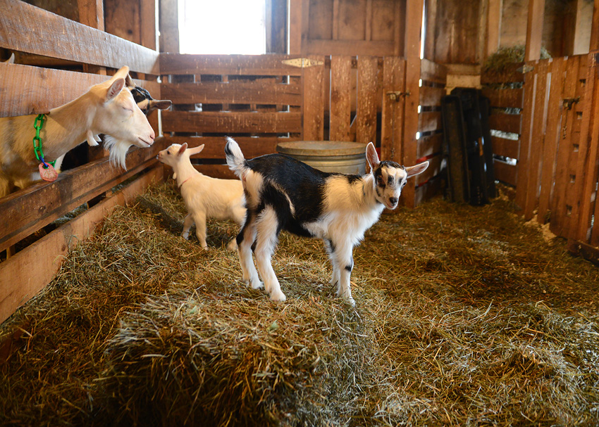 oak leaf dairy goat farm-41