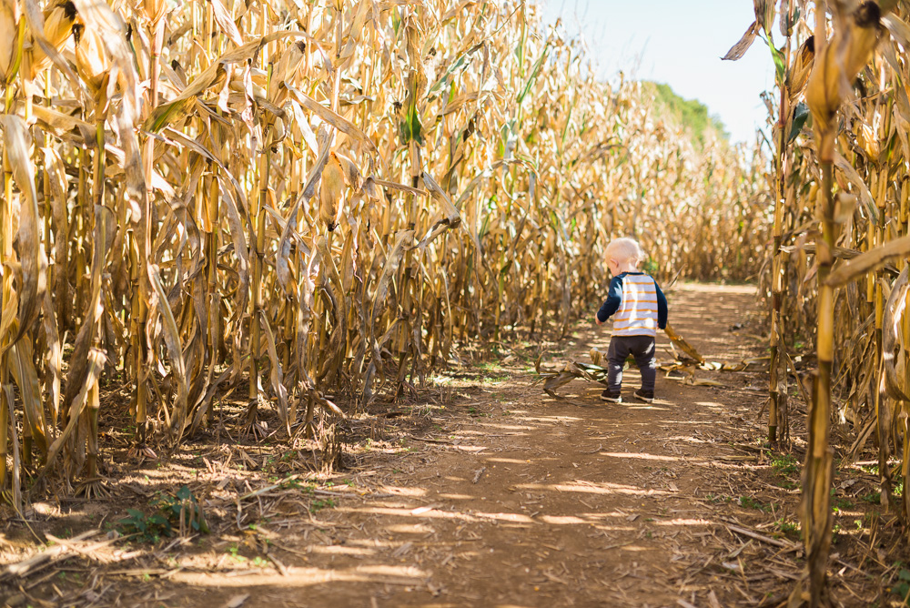 buttonwoods farm corn maze 2015-13