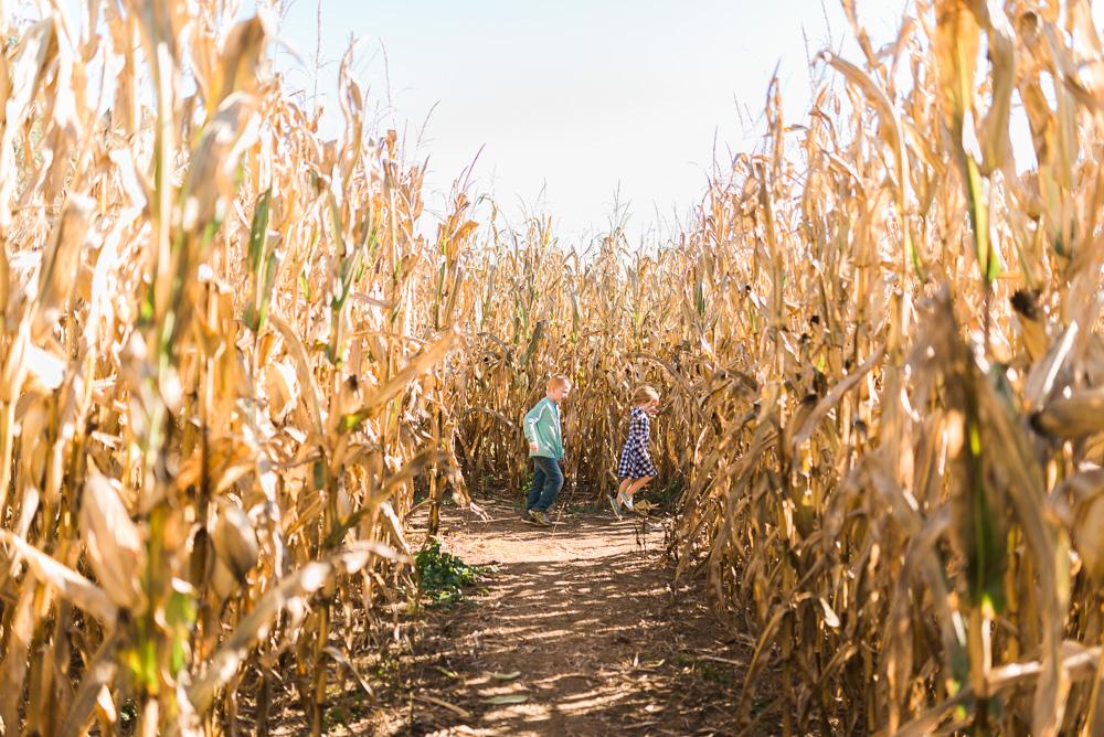 buttonwoods farm corn maze 2015-4