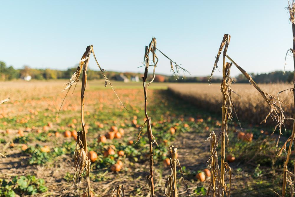 buttonwoods farm corn maze 2015-62