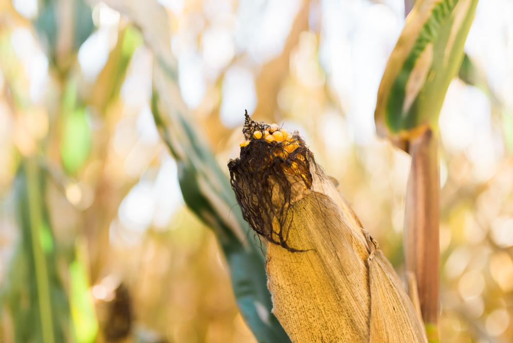 buttonwoods farm corn maze 2015-7