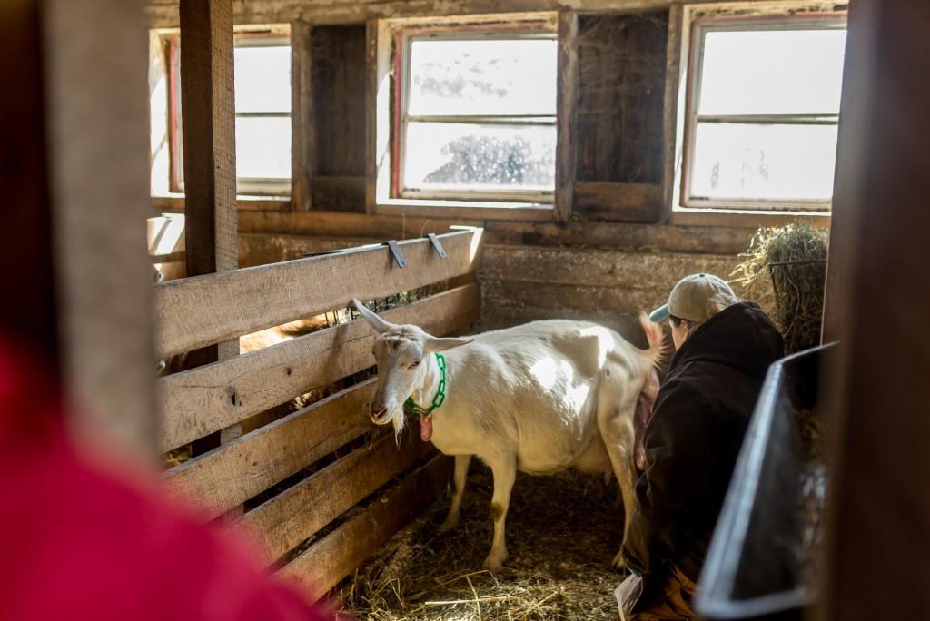 oak leaf dairy goat farm march 6th-2
