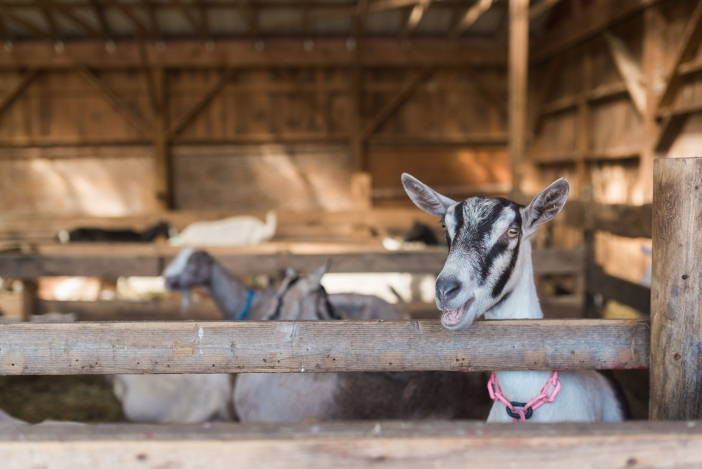 oak leaf dairy goat farm march 6th-30