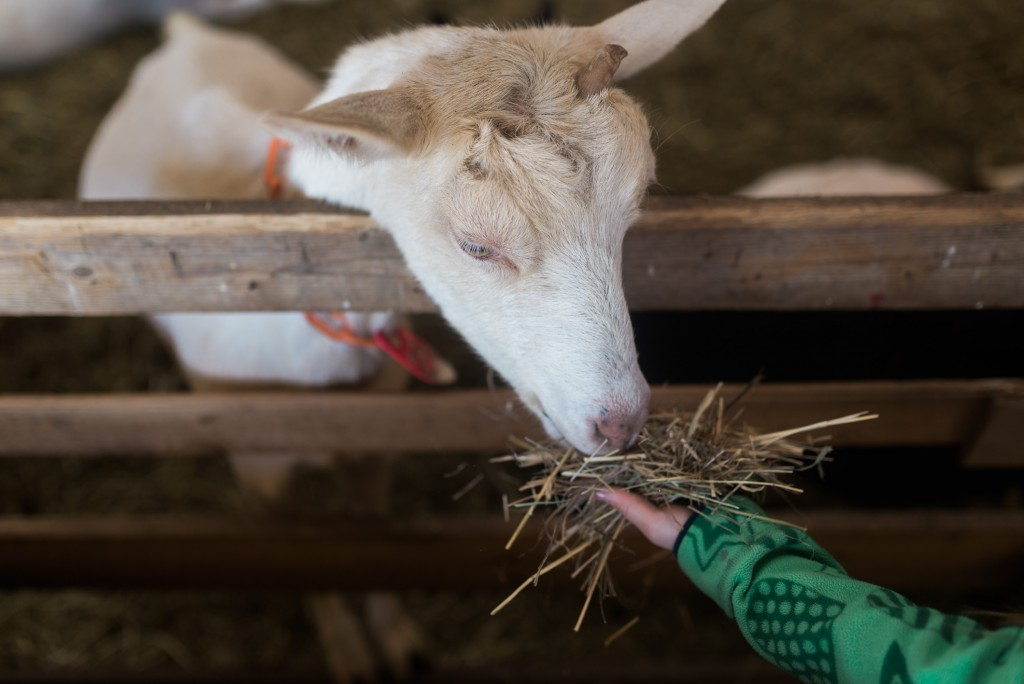 oak leaf dairy goat farm march 6th-32
