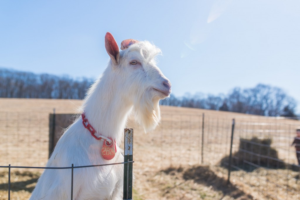 oak leaf dairy goat farm march 6th-38